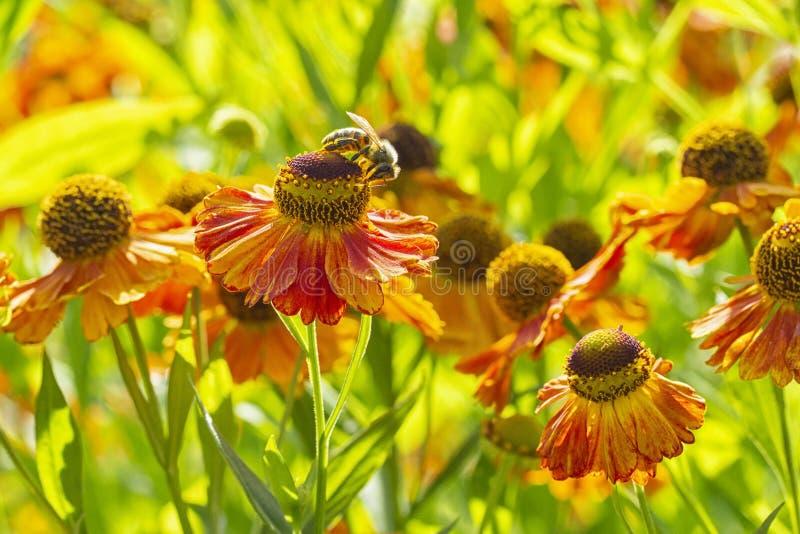 Flores amarelas vermelhas alaranjadas brilhantes do Asteraceae da família do autumnale de Waltraut do Helenium com emplastro cinz foto de stock
