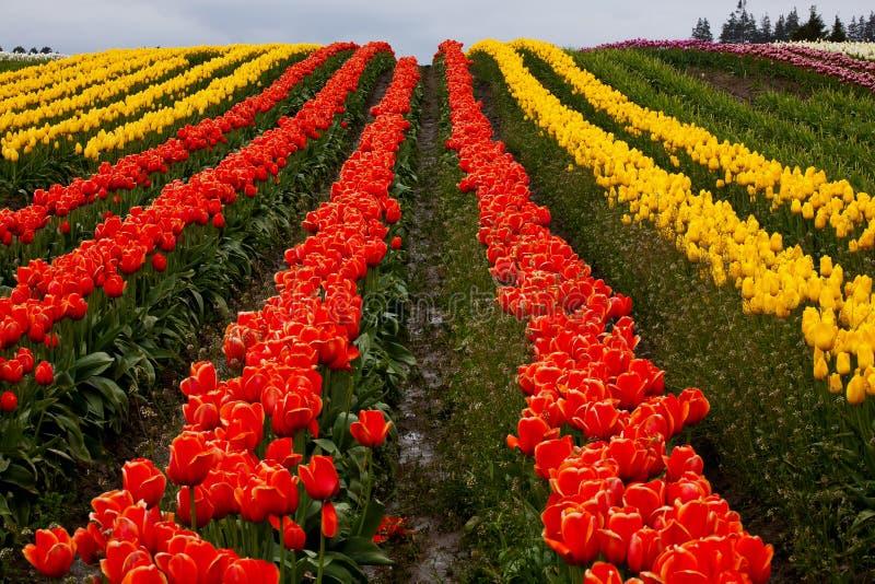 Flores amarelas vermelhas Washington dos montes do Tulip fotografia de stock royalty free