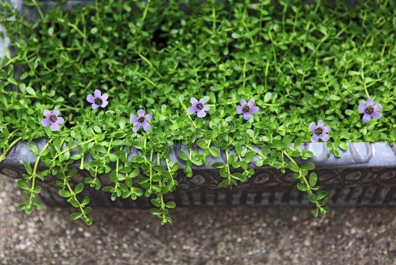 Flores amargas de la hierba imagen de archivo libre de regalías