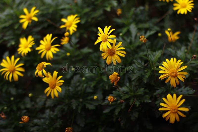 Download Flores amarillas imagen de archivo. Imagen de fotografía - 100526291