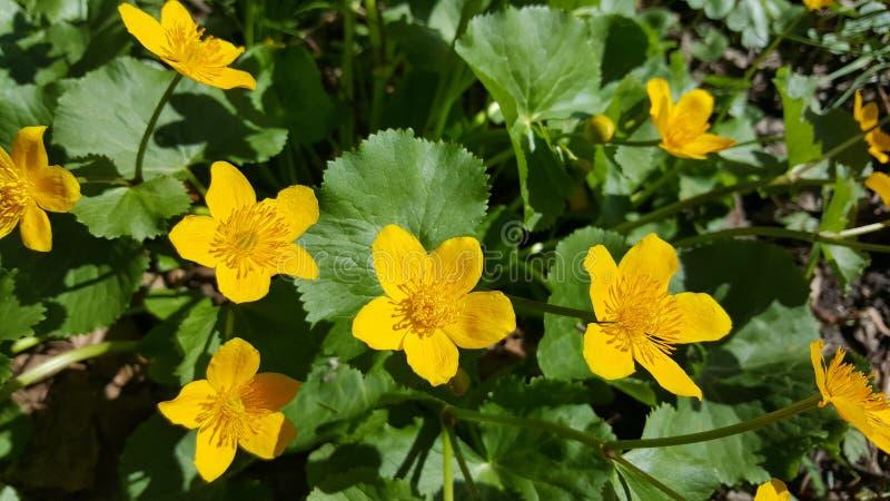 Flores amarillas foto de archivo libre de regalías