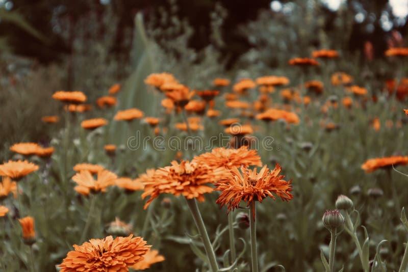Flores amarillas anaranjadas bonitas en flores florecientes crecientes salvajes de un flowerfield imagen de archivo