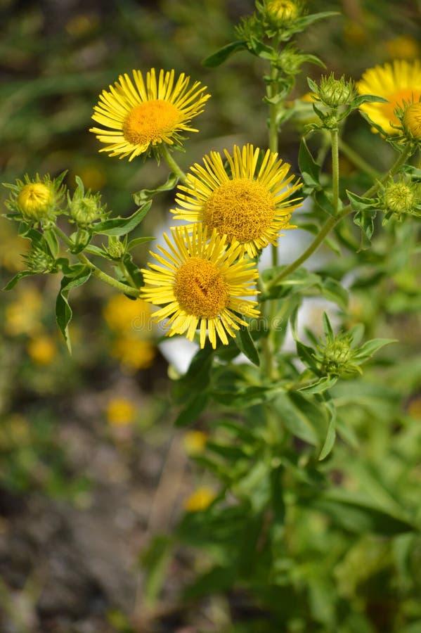 Flores amarillas asoleadas Pequeñas flores hermosas con los pétalos que sorprenden imagen de archivo