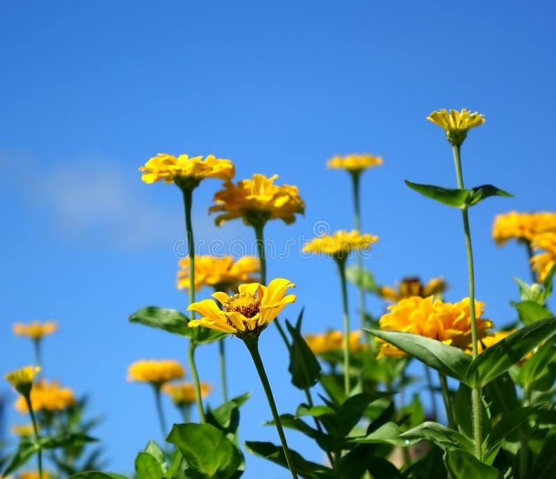 Flores amarillas brillantes de la maravilla fotografía de archivo libre de regalías