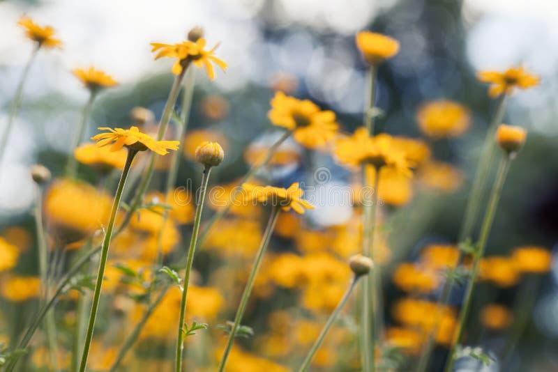 Flores amarillas brillantes de la margarita en el jardín fotografía de archivo
