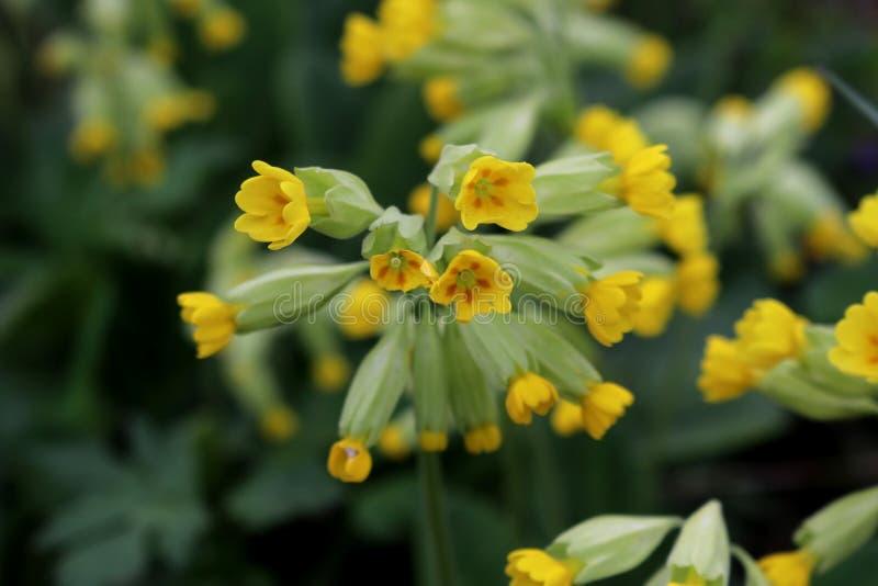 Flores amarillas brillantes de la prímula Veris de la prímula de la planta imagen de archivo
