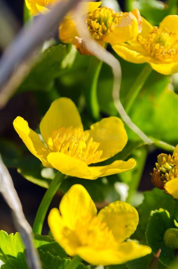 Flores amarillas brillantes del Caltha en cierre verde del fondo de las hojas para arriba Palustris del Caltha, conocidos como pa fotos de archivo