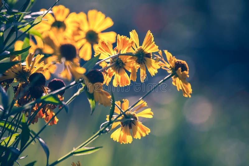 Flores amarillas brillantes del helenium en el jardín fotos de archivo