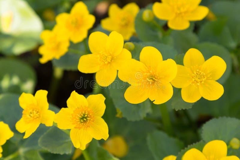 Flores amarillas brillantes en tiempo de primavera imagen de archivo libre de regalías