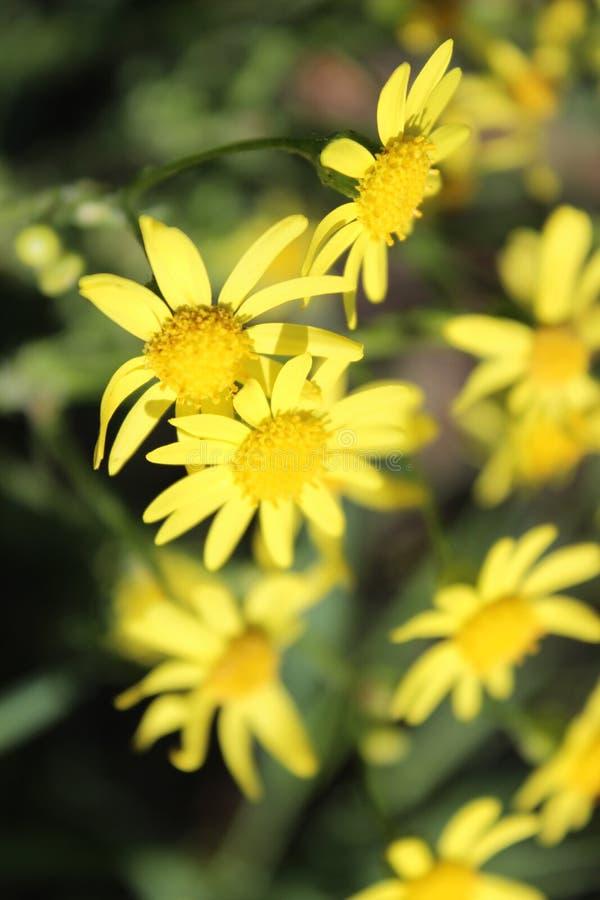 Flores amarillas brillantes frescas hermosas en el prado del verano imágenes de archivo libres de regalías
