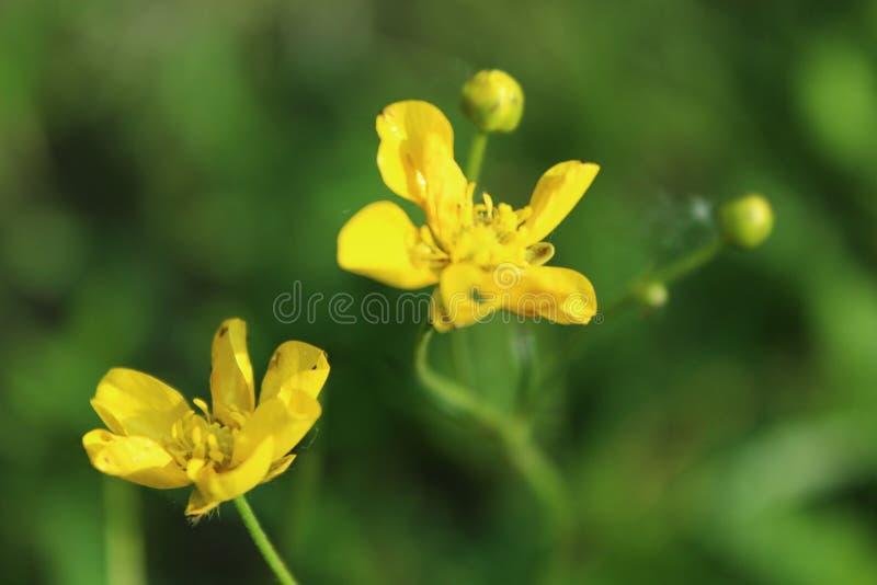 Flores amarillas brillantes frescas hermosas en el prado del verano fotos de archivo libres de regalías