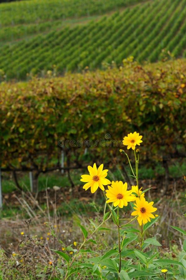 Flores amarillas cerca de un viñedo en la región del chianti, Toscana fotos de archivo libres de regalías