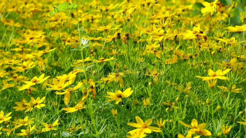 Flores amarillas con las hojas verdes fotografía de archivo libre de regalías