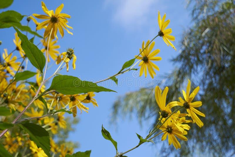 Flores amarillas contra el cielo nublado azul imagenes de archivo