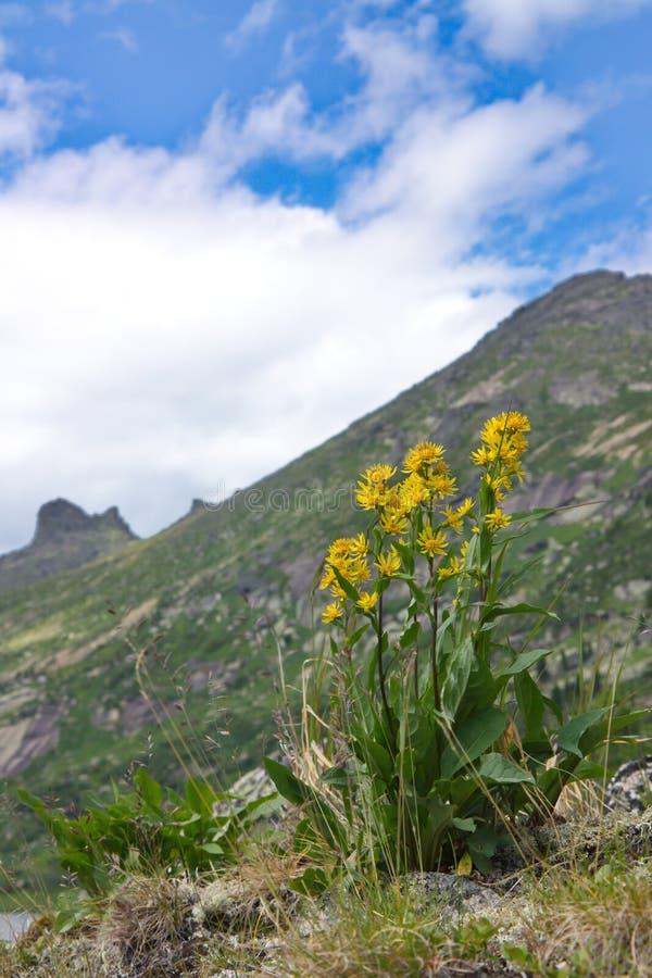 Flores amarillas contra la perspectiva de las montañas foto de archivo libre de regalías