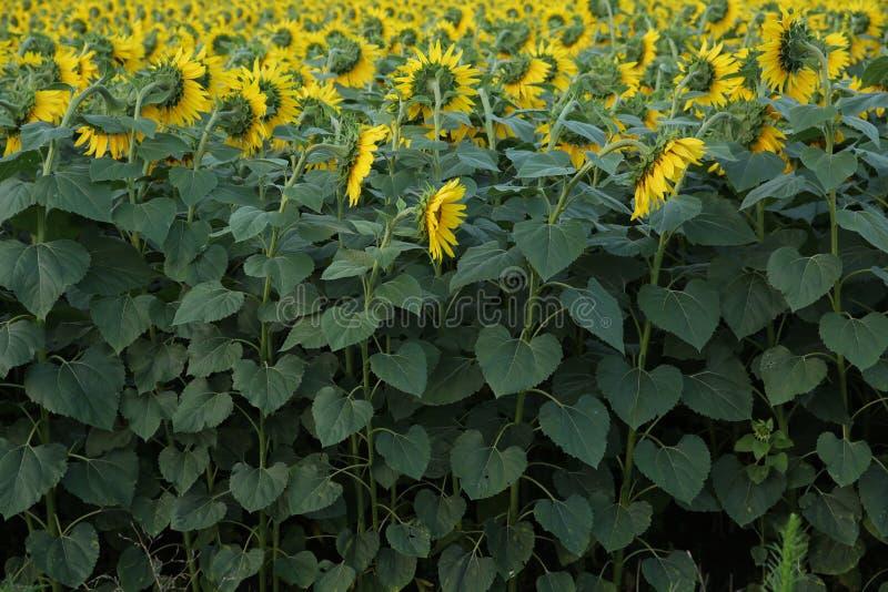 Flores amarillas de girasoles con la parte verde del tronco y del follaje en el campo de girasoles fotos de archivo libres de regalías
