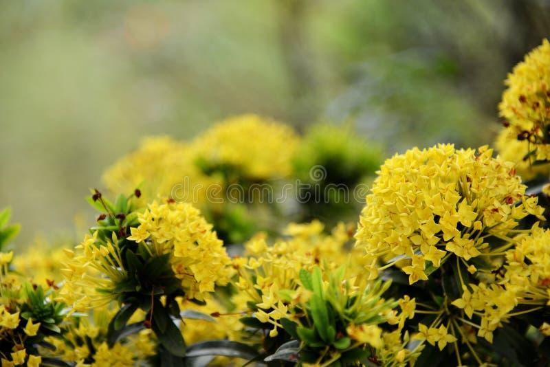 Flores amarillas de Ixora fotos de archivo libres de regalías