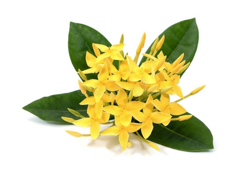 Flores amarillas de Ixora aisladas en el fondo blanco Flores de Ixora aisladas Flores de Ixora con la hoja aislada foto de archivo