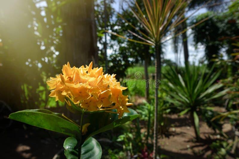 Flores amarillas de la aguja imagen de archivo libre de regalías