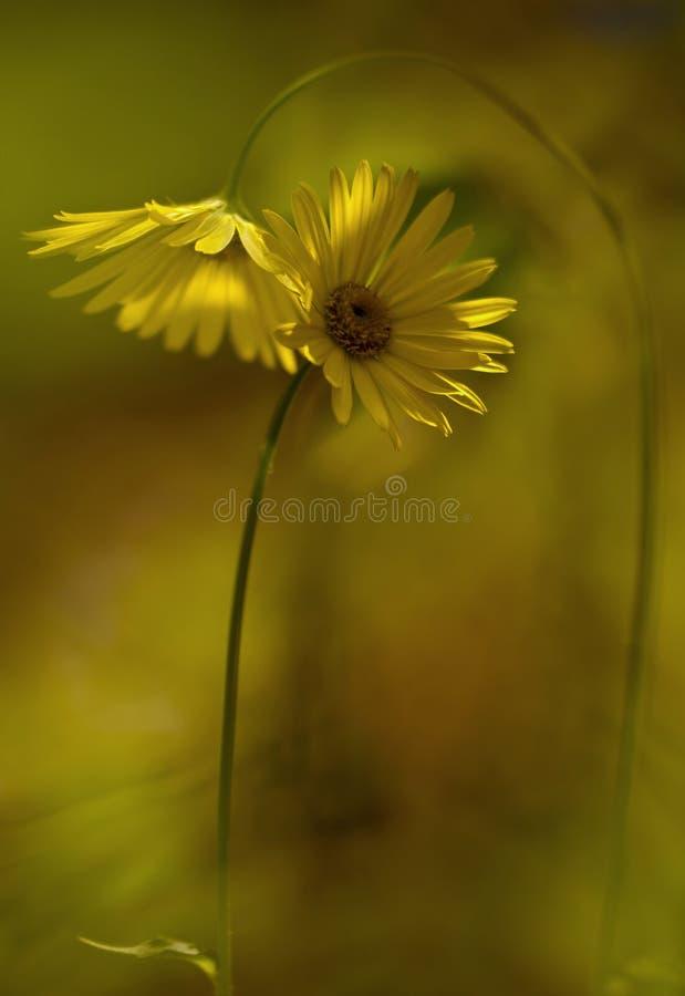 Flores amarillas de la cita foto de archivo libre de regalías