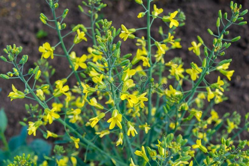 Flores amarillas de la inflorescencia vegetal común de la col imagen de archivo