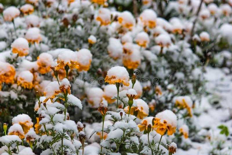 Flores amarillas de la maravilla debajo de la nieve blanca fotografía de archivo