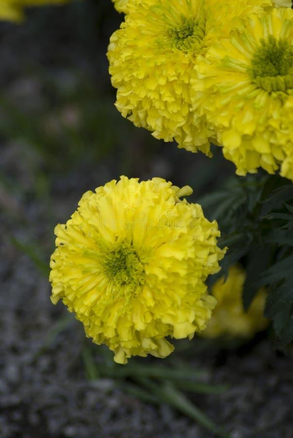 Flores amarillas de la maravilla en el jardín foto de archivo