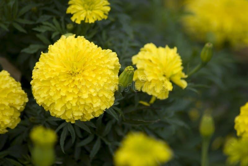 Flores amarillas de la maravilla en el jardín imagen de archivo