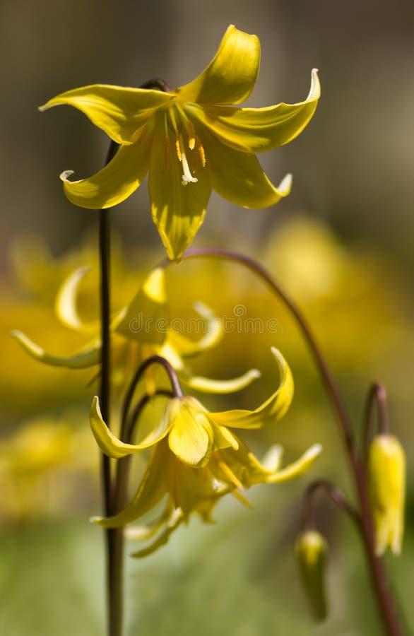 Flores amarillas de la pagoda del Erythronium fotos de archivo libres de regalías