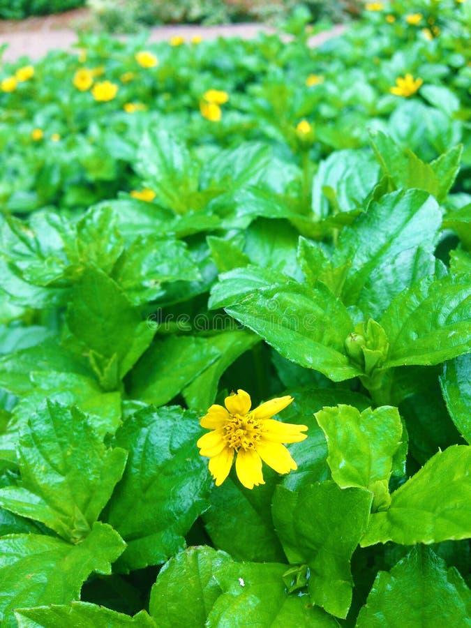Flores amarillas de la planta fotos de archivo libres de regalías
