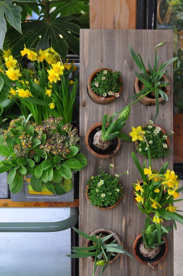Flores amarillas de la primavera en potes imagen de archivo libre de regalías