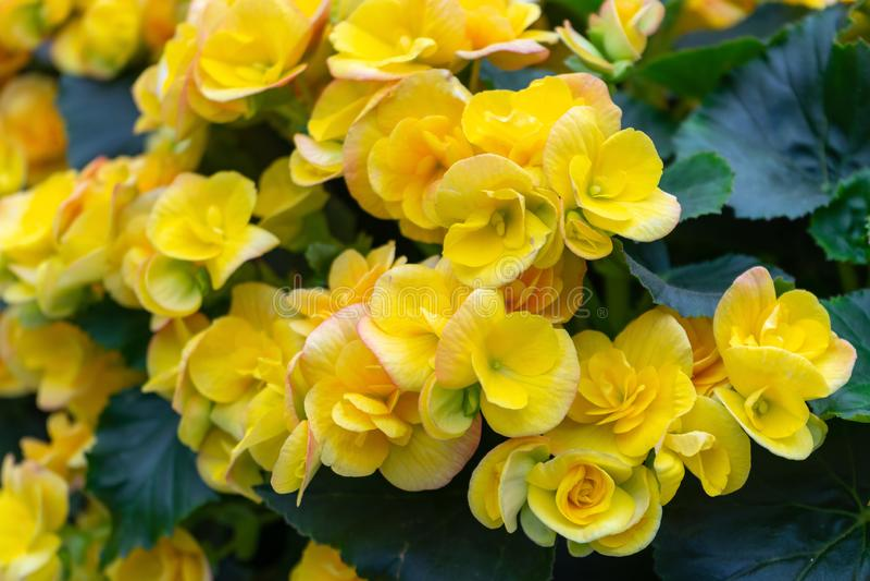 Flores amarillas de los grandis de la begonia, mal de amor, amor amargo fotos de archivo libres de regalías