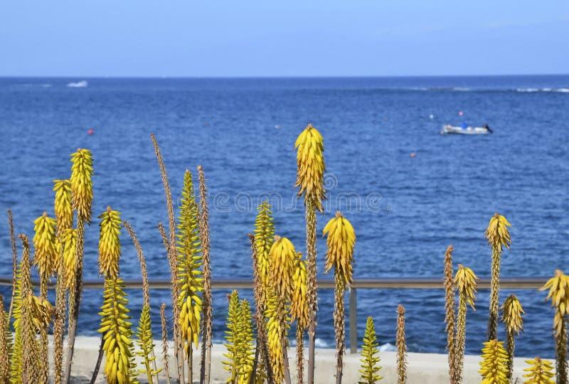 Flores amarillas de Vera del áloe en un fondo borroso del océano en Tenerife, islas Canarias, España fotos de archivo