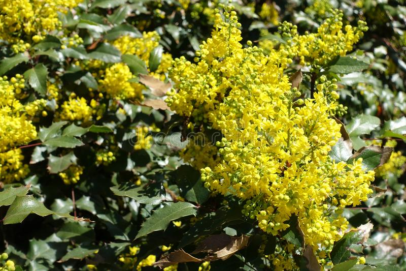 Flores amarillas del aquifolium del Berberis llevadas en racimos densos fotos de archivo libres de regalías