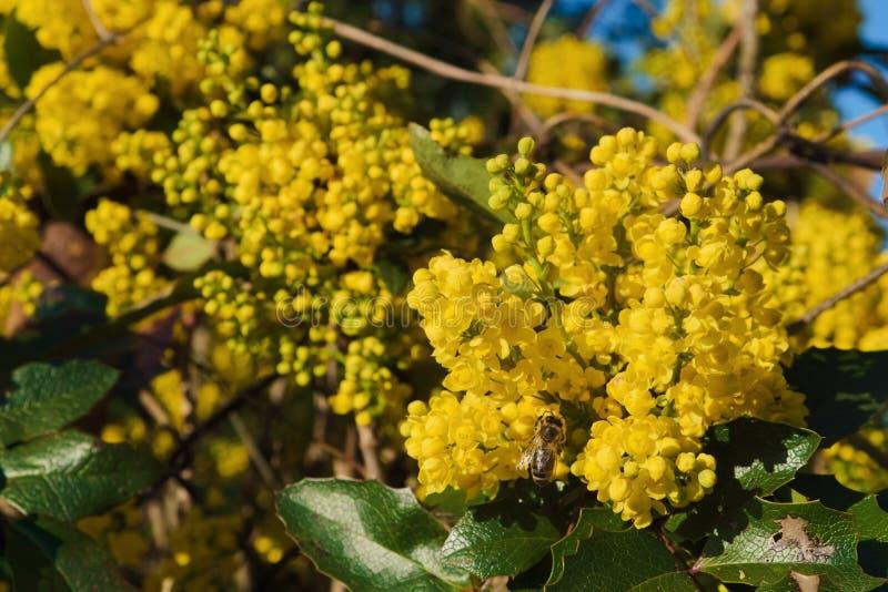 Flores amarillas del aquifolium del Mahonia con la abeja foto de archivo libre de regalías