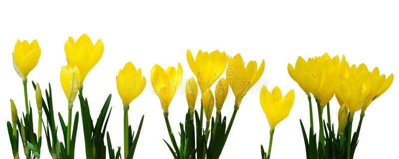 Flores amarillas del azafrán imagen de archivo