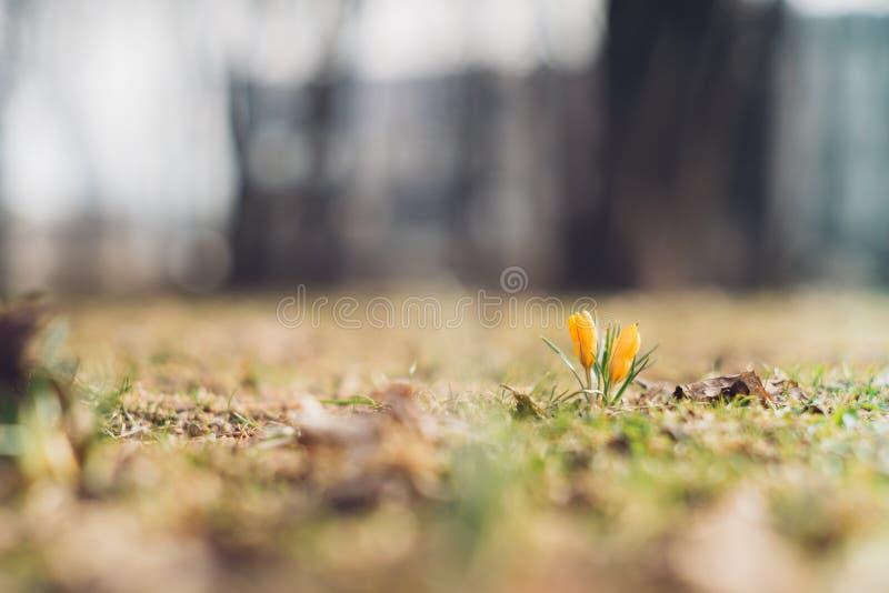 Flores amarillas del azafrán por primavera temprana imágenes de archivo libres de regalías