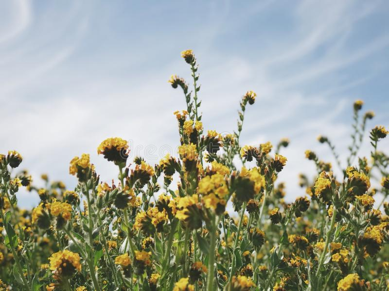 Flores amarillas del campo fotografía de archivo