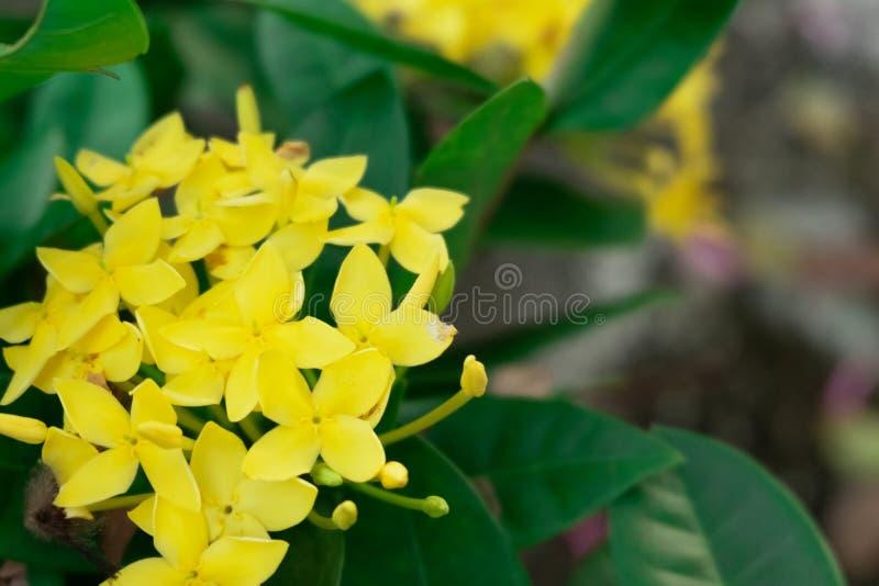 Flores amarillas del coccinea de Ixora imagen de archivo libre de regalías