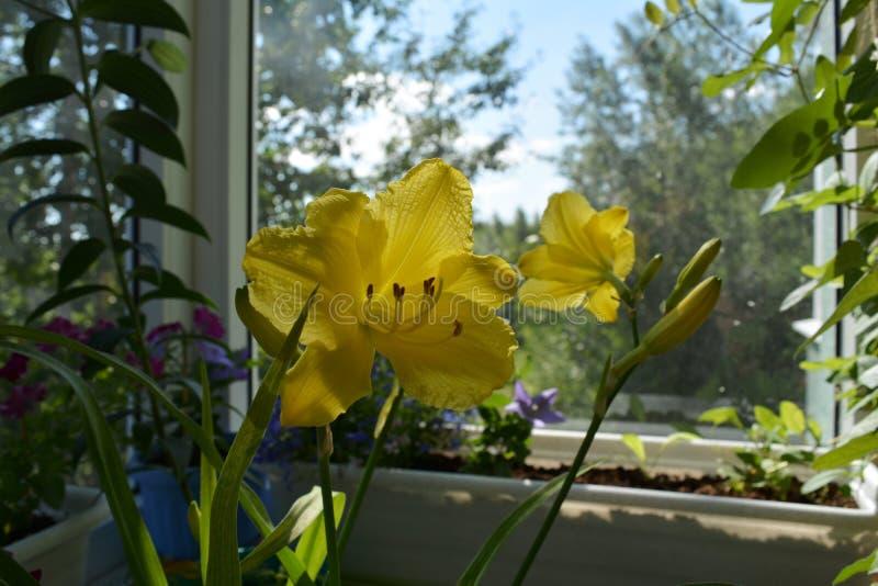 Flores amarillas del daylily y de otras plantas en envases Jardín hermoso en el balcón con la opinión sobre bosque fotos de archivo libres de regalías