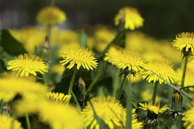 Flores amarillas del diente de león fotografía de archivo libre de regalías