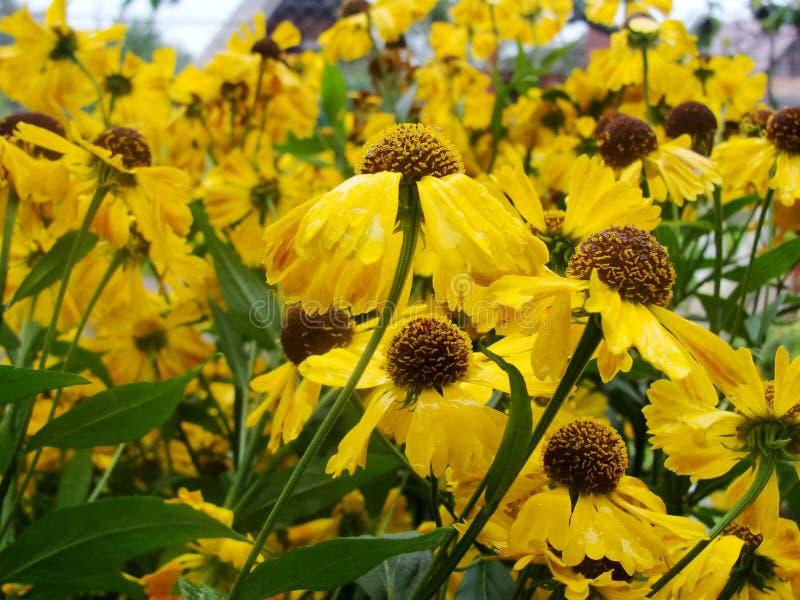 Flores amarillas del Helenium flores de la árnica en el jardín Helenium de Gelenium, Compositae de la familia gelenium - jardín a fotografía de archivo