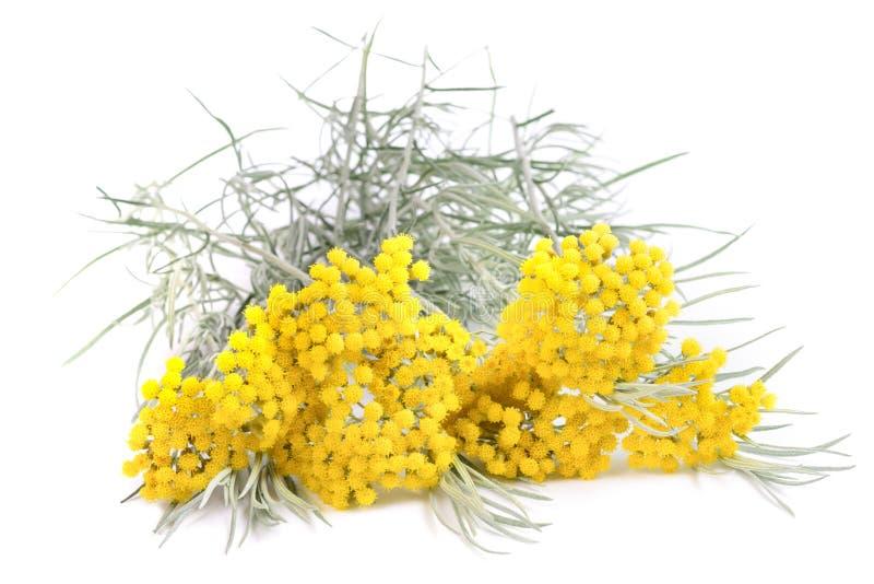 Flores amarillas del helichrysum fotografía de archivo