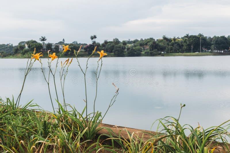 Flores amarillas del hibisco imágenes de archivo libres de regalías