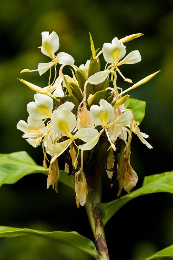 Flores amarillas del jengibre imagen de archivo