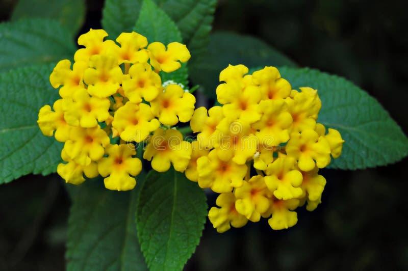 Flores amarillas del lanthana imagenes de archivo