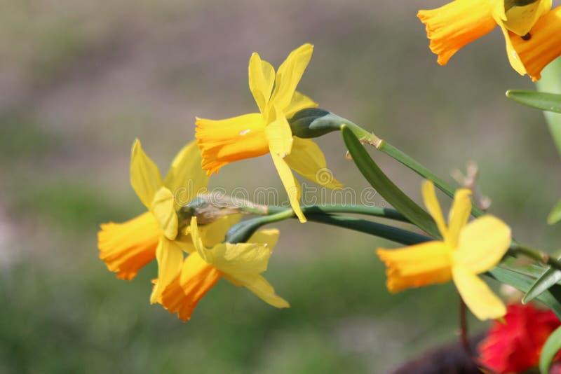 Flores amarillas del narciso en jard?n imagenes de archivo