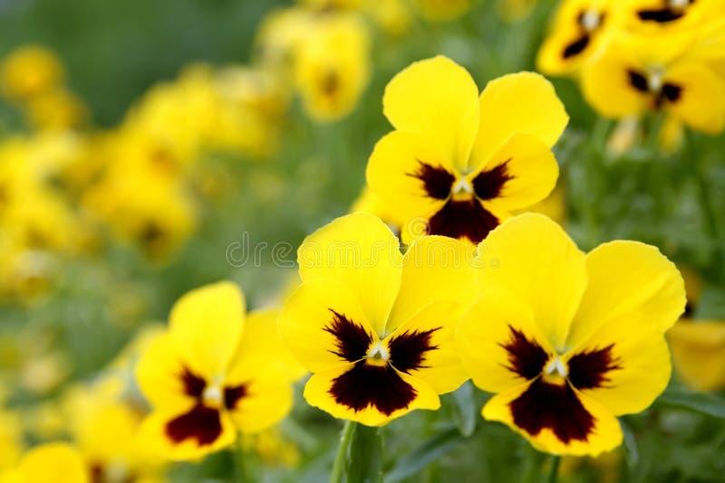 Flores amarillas del pensamiento fotos de archivo libres de regalías