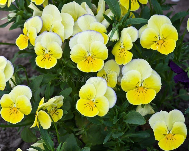 Flores amarillas del pensamiento fotos de archivo
