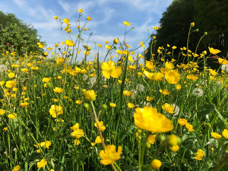 Flores amarillas del ranúnculo de prado en verano fotos de archivo
